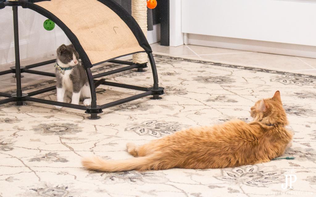 Tubbs-and-Adventure-Kitty-playing-jenniferppriest-3