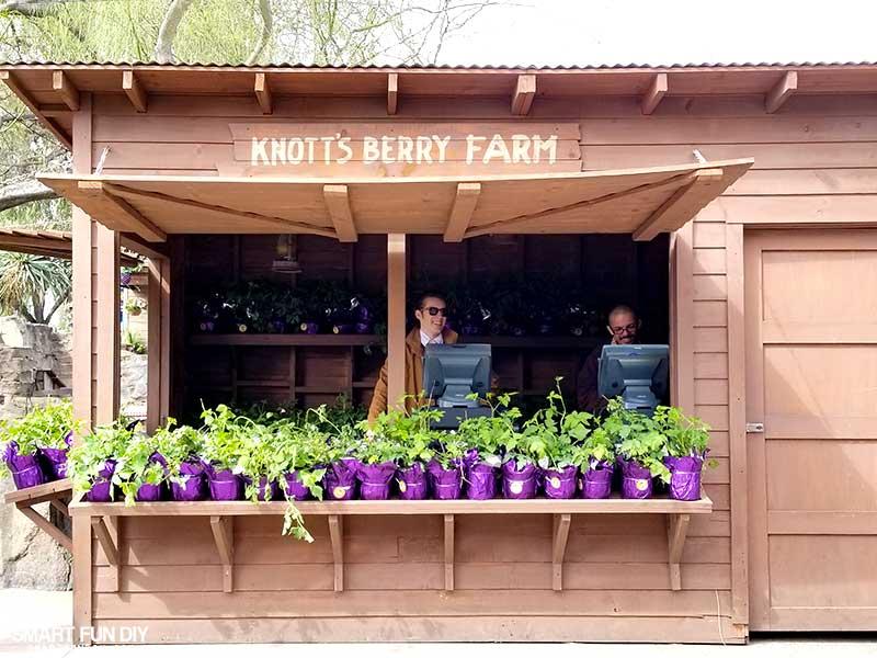 Boysenberry Plants for sale at Knott's Berry Farm
